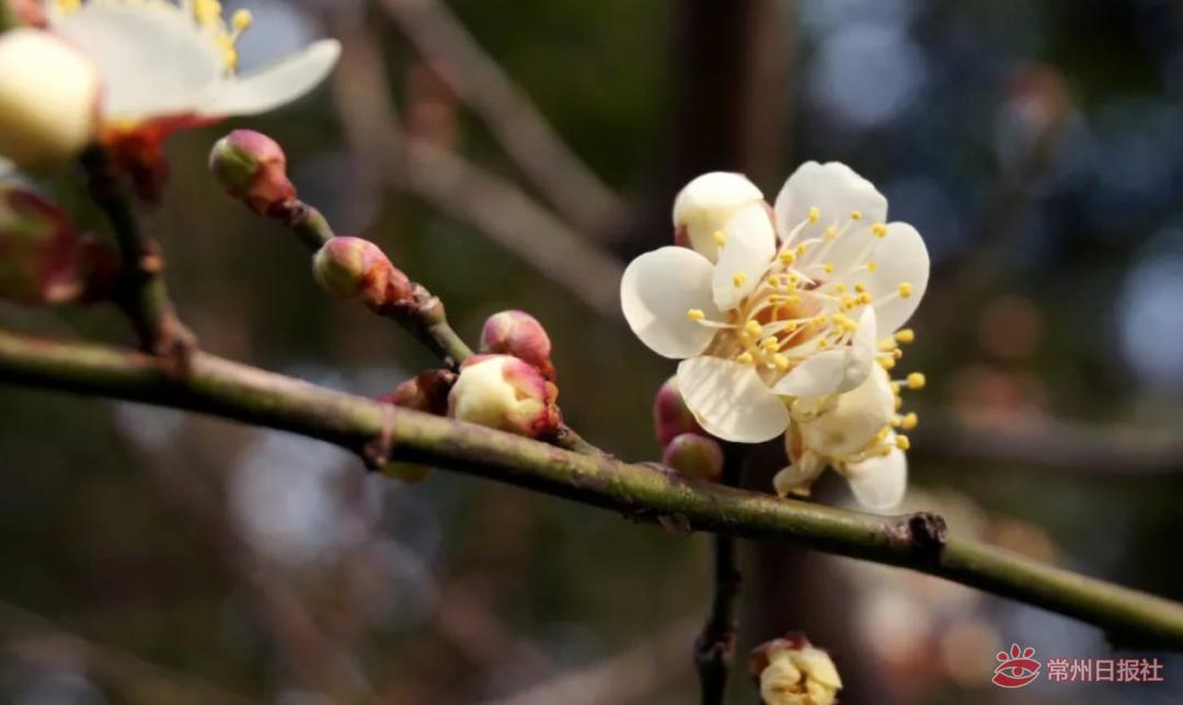 """蜡梅未谢梅花已开,常州""""消息树""""传递春消息"""